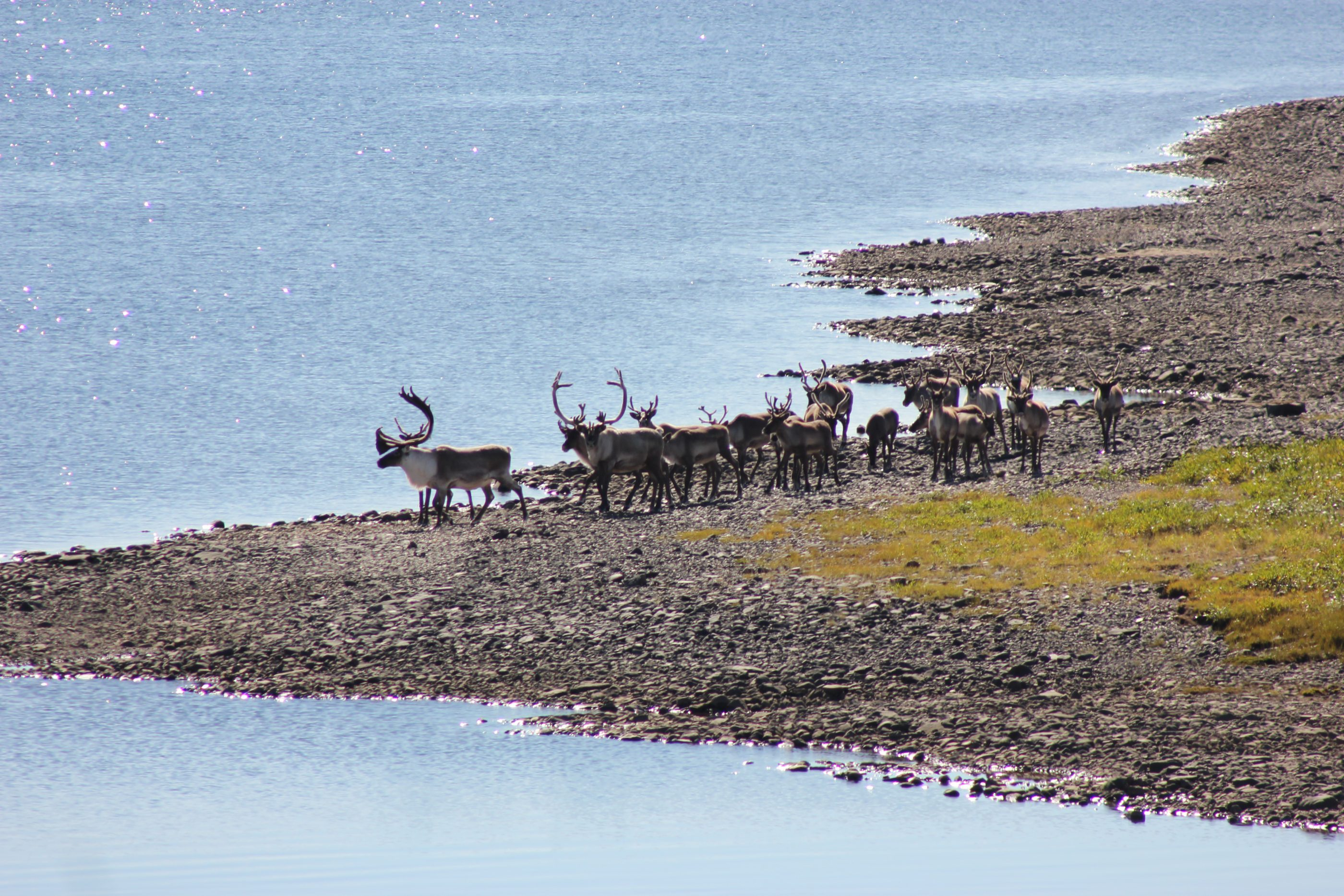 Caribou along the coast of Eeyou Istchee